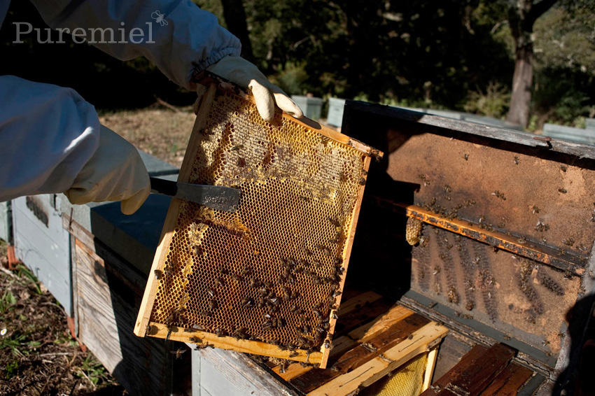 Puremiel Honey Collecting